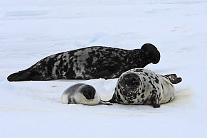 Hooded Seal (Cystophora cristata), female and pup age four days with male behind, Magdalen Islands, Canada  -  Sylvain Cordier