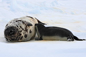 Hooded seal (Cystophora cristata), female and pup age four days, Magdalen Islands, Canada  -  Sylvain Cordier