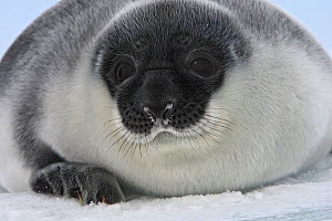 Hooded seal (Cystophora cristata), pup age four days, Magdalen Islands, Canada  -  Sylvain Cordier