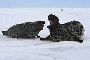Hooded Seal (Cystophora cristata)  female chasing off a male,  Magdalen Islands, Canada  -  Sylvain Cordier