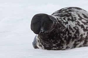 Hooded seal (Cystophora cristata), with inflated nasal sac during courtship display, Magdalen Islands, Canada  -  Sylvain Cordier