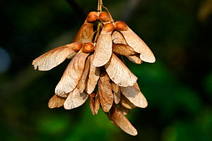 Sycamore (Acer pseudoplatanus) seeds, Alsace, France  -  Sylvain Cordier