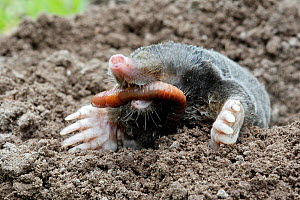 European mole (Talpa europaea) at surface of soil in garden, eating a worm, Alsace, France. Small repro only - Sylvain Cordier