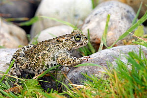 Common midwife toad (Alytes obstetricans), male, Vaucluse, France  -  Sylvain Cordier