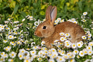 Baby domestic rabbit in the Daisy (Bellis perennis) flowers, Alsace,  France  -  Sylvain Cordier