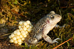 Common midwife toad (Alytes obstetricans), male toad carrying eggs, Vaucluse, France  -  Sylvain Cordier