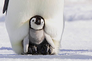 Emperor penguin (Aptenodytes forsteri), chick in parent's brood pouch, Snow Hill Island, Antarctic Peninsula  -  Sylvain Cordier
