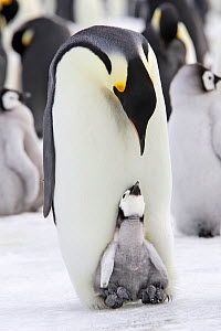 Emperor penguin (Aptenodytes forsteri), chick in brood pouch of parent, Snow Hill Island, Antarctic Peninsula  -  Sylvain Cordier