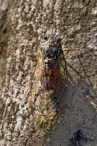 Cicada (Tibicen plebejus) on tree bark, Provence, France, August. - Sylvain Cordier