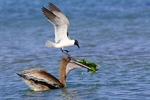 Brown pelican (Pelecanus occidentalis) with Laughing gull (Larus atricilla), trying to steal fish, Los Roques, Venezuela  -  Sylvain Cordier