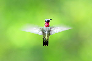Long-billed starthroat (Heliomaster longirostris) hovering  in flight, Venezuela  -  Sylvain Cordier