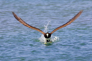 Brown booby (Sula leucogaster), adult taking off from water, Los Roques, Venezuela  -  Sylvain Cordier