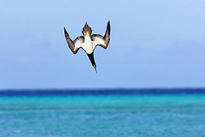 Brown booby (Sula leucogaster), adult diving for fish, Los Roques, Venezuela - Sylvain Cordier