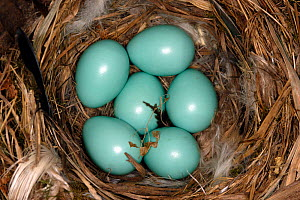 Common redstart (Phoenicurus phoenicurus) nest with six eggs, Alsace, France - Sylvain Cordier