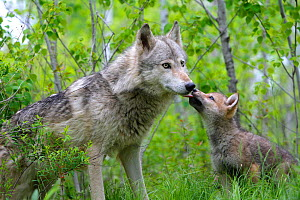 Grey wolf (Canis lupus), adult with cub, captive, USA  -  Sylvain Cordier