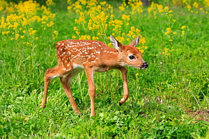 White tailed deer  (Odocoileus virginianus), fawn age one week, captive, USA. - Sylvain Cordier
