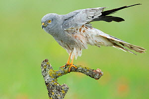 Montagu's harrier (Circus pygargus), adult male on branch, Caceres, Extremadura, Spain, May.  -  Sylvain Cordier