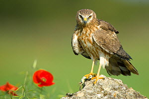 Montagu's harrier (Circus pygargus), adult female on rock, Caceres, Extremadura, Spain, May.  -  Sylvain Cordier
