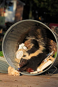 Striped skunk (Mephitis mephitis) in garbage can, captive, USA, September. - Sylvain Cordier