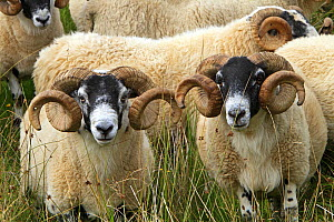 Black face sheep (Ovis aries), rams, Argyll county, Ardnamurchan, Scotland, UK, August. - Sylvain Cordier