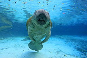 Florida manatee (Trichechus manatus latirostrus), Three Sisters Springs, Crystal River, Florida, United States, March.  -  Sylvain Cordier