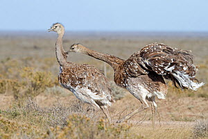 Greater rhea (Rhea americana) fight between two birds, Punta Norte, Peninsula Valdes, Argentina.  -  Sylvain Cordier