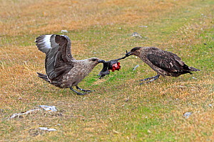 Falkland Skua (Catharacta antarctica), two fighting over White bellied shag (Leucocarbo atriceps albiventer) chick,Pebble  Island , Falkland Islands - Sylvain Cordier