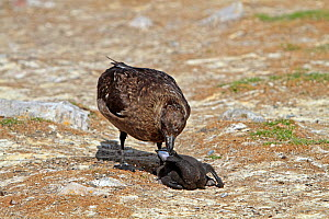 Falkland skua (Catharacta antarctica) adult with  predated King cormorant / White bellied shag (Leucocarbo atriceps albiventer) chick,  Pebble  Island, Falkland Islands - Sylvain Cordier