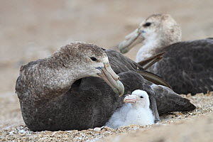 Southern giant-petrel (Macronectes giganteus), adult at the nest with a chick, Pebble island, Falkland Islands  -  Sylvain Cordier