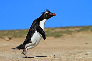 Rockhopper penguin (Eudyptes chrysocome chrysocome), coming back from he sea to the colony, Pebble Island, Falkland Islands - Sylvain Cordier