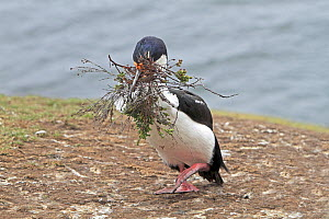 White bellied shag (Leucocarbo atriceps albiventer), returning from the sea with nesting material,  Pebble island, Falkland islands  -  Sylvain Cordier