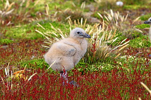 Falkland Skua (Catharacta antarctica), chick walking around the nest, Pebble Island, Falkland islands - Sylvain Cordier