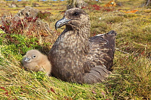 Falkland skua (Catharacta antarctica), adult with chick, Pebble Island, Falkland islands - Sylvain Cordier