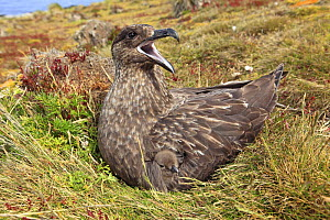 Falkland skua (Catharacta antarctica) adult on  nest, Pebble Island, Falkland islands - Sylvain Cordier