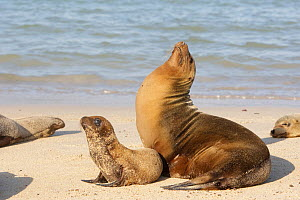 Galapagos sea lion (Zalophus californianus wollebacki), Female and baby, Santa Fe Island, Galapagos Islands  -  Sylvain Cordier