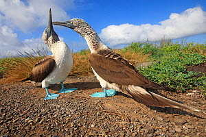 Blue footed booby (Sula nebouxii), courtship ritual, Seymour Island, Galapagos Islands .  -  Sylvain Cordier