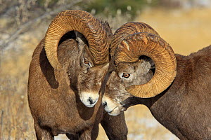 Rocky mountain bighorn sheep (Ovis canadensis canadensis) two  males head to head during breeding season, Jasper National Park, Canada - Sylvain Cordier