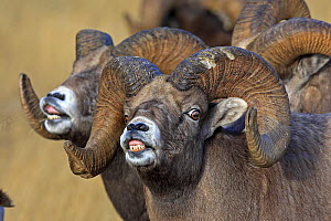 Rocky mountain bighorn sheep (Ovis canadensis canadensis) males in breeding season  exhibiting  flehmen response  to scent for females on heat,  Jasper National Park, Canada - Sylvain Cordier