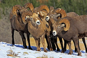 Rocky mountain bighorn sheep (Ovis canadensis canadensis) group of males in breeding season, Jasper National Park, Canada - Sylvain Cordier