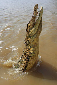 Saltwater crocodile (Crocodylus porosus) lunging out of water for food, Kakadu, Northern territory, Australia  -  Sylvain Cordier