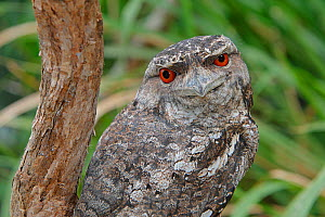 Papuan frogmouth  (Podargus papuensis), by day, Queensland, Australia - Sylvain Cordier