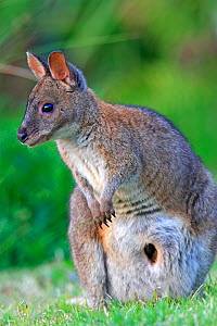 Red-necked pademelon  (Thylogale thetis) female, Queensland, Australia  -  Sylvain Cordier