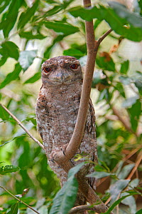 Papuan frogmouth  (Podargus papuensis) during daytime, Queensland, Australia - Sylvain Cordier