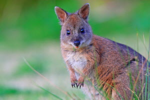 Red-necked pademelon  (Thylogale thetis), female, Queensland, Australia  -  Sylvain Cordier