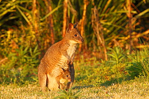 Red-necked pademelon  (Thylogale thetis), female and baby, Queensland, Australia  -  Sylvain Cordier