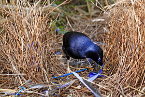Satin bowerbird (Ptilonorhynchus violaceus), male building his bower to attract females with blue objects, Queensland, Australia - Sylvain Cordier