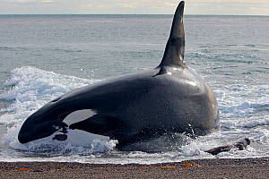 Killer whale (Orcinus orca) male named Mel attacking young South American sea lion (Otaria flavescens) on beach, Punta Norte, Peninsula Valdes, Argentina  -  Sylvain Cordier