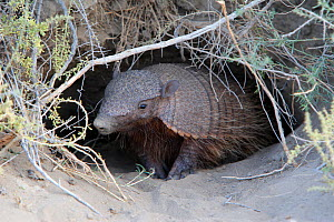 Hairy armadillo (Chaetophractus villosus), near by the burrow, Punta Norte, Peninsula Valdes, Argentina. Small repro only  -  Sylvain Cordier