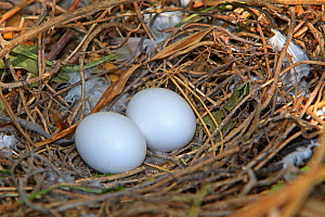 Wood pigeon (Columba palumbus), nest with two eggs, Alsace, France - Sylvain Cordier