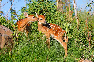 White tailed deer (Odocoileus virginianus), two fawns age one week, captive, USA. - Sylvain Cordier